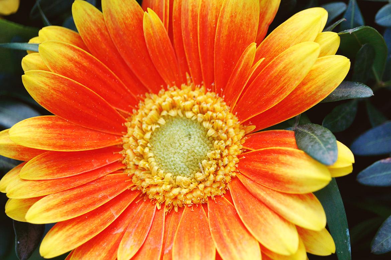Orangefarbene Blume