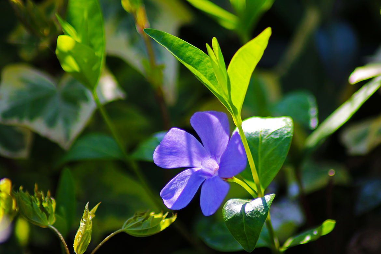 Blaues Veilchen